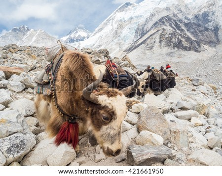 A caravan of Yaks on the way back from Everest Base Camp - stock photo