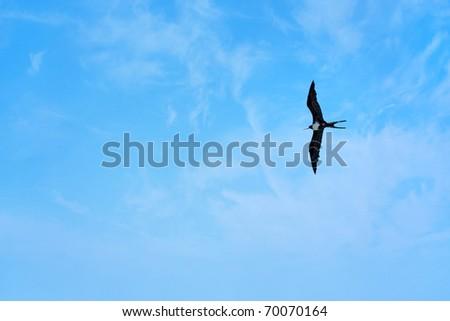A Caribbean frigate bird flying through the sky high above the tropical sea. - stock photo