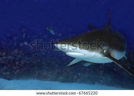 a caribbean reef shark swim close to the sandy bottoms of grand bahamas - stock photo