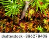 A carnivorous round-leaved sundew plant (Drosera rotundifolia) in a northern Wisconsin bog. - stock photo