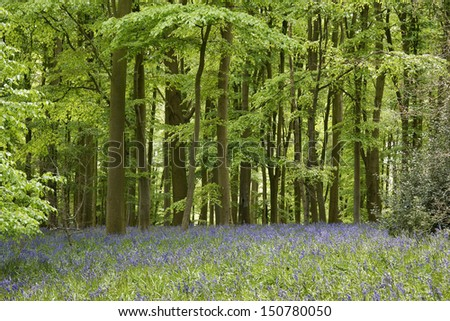 A carpet of bluebells in the woods in England