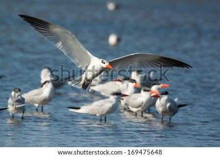 A Caspian Tern (Sterna Caspia) coming in for a landing by the flock - stock photo