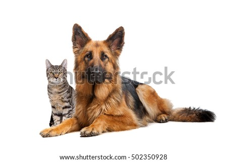 A cat and a German Shepherd dog in front of a white background