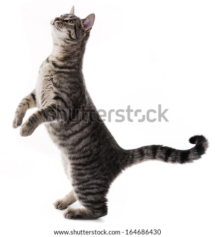 a cat begging for food - stock photo