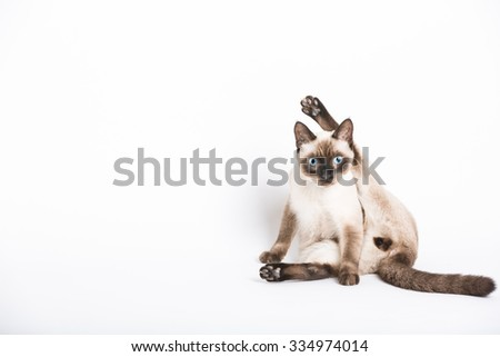 a cat stares into the camera in the middle of cleaning his crotch. leg above head in awkward position. - stock photo