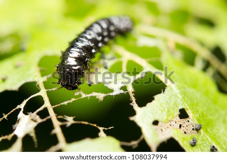 A caterpillar eating a leaf - stock photo