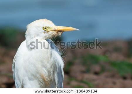 A Cattle Egret (Bubulcus ibis) on the beach close up - stock photo