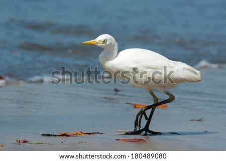A Cattle Egret (Bubulcus ibis) walking on the beach - stock photo