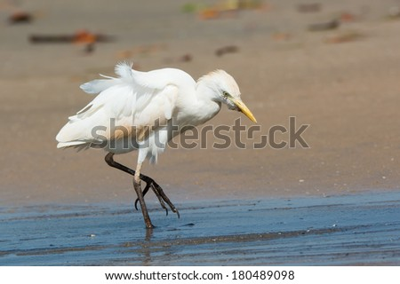 A Cattle Egret (Bubulcus ibis) walking up the beach on a windy day