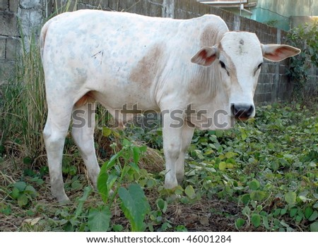 A cattle in the farm