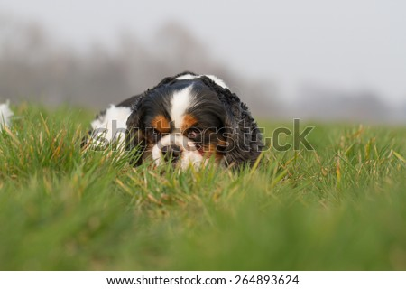 A Cavalier King Charles dog lying on a meadow and looking at the camera - stock photo