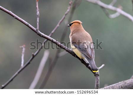A Cedar Waxwing bird on a branch from behind - stock photo