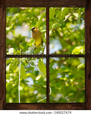 A Cedar waxwing perched in an apple tree, collecting string that was placed there for him for nesting material in the Spring, as seen through the farm house window in the morning. - stock photo