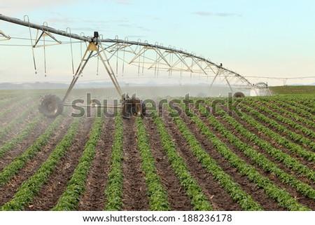 A center pivot sprinkler watering a potato field - stock photo