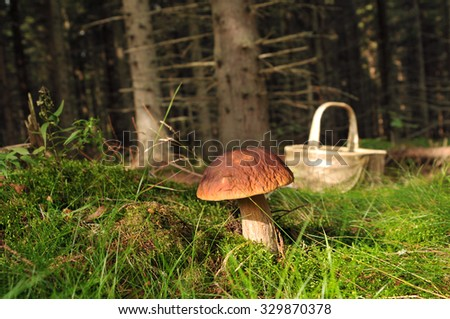 A cep (porchino, Boletus edulis lat.) is growing in the fir-tree forest with a basket in the background, Puumala, Finland - stock photo