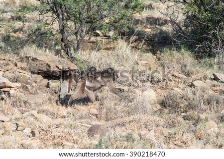 A chacma baboon mother and baby, Papio ursinus, blend in with the natural environment in the Mountain Zebra National Park near Cradock in South Africa - stock photo