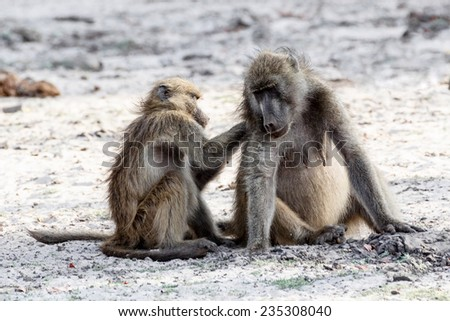 A chacma Baboon (Papio anubis), grooming, and socializing. Chobe National Park in Botswana - stock photo