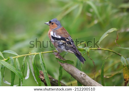 A Chaffinch perched on a tree branch - stock photo