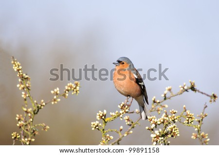 A chaffinch sitting amongst spring blossom, taken with a shallow depth of field - stock photo