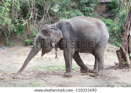 a chained old elephant try to reach his food