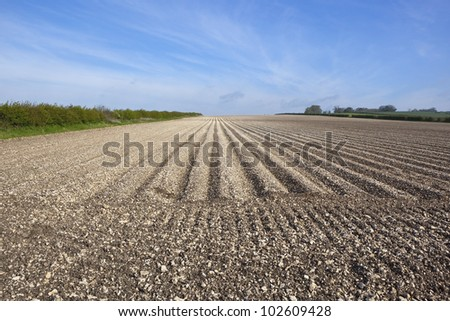 a chalky furrowed potato field with hedgerows and trees under a blue springtime sky