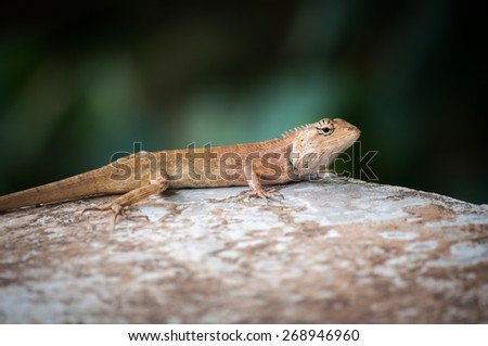 a chameleon on stone, soft focus, blurry focus - stock photo