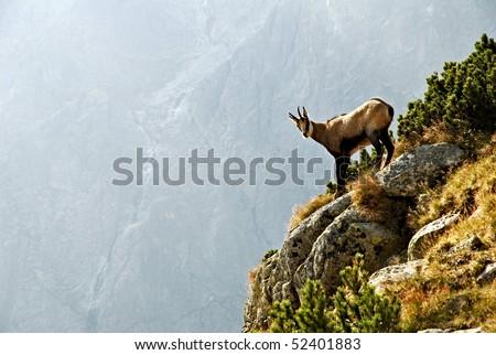 A chamois in the High Tatras National Park - Slovakia - stock photo