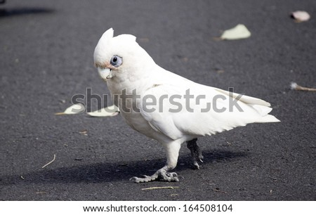 A cheeky blue eyed  white Australian corella is  standing on the grey  bitumen after eating the grassy tips of weeds in the park on a sunny day in late spring. - stock photo