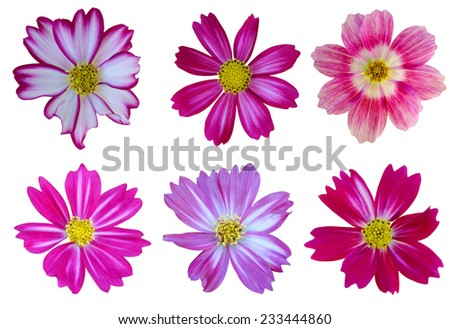 A cheerful cosmos flowers  - stock photo