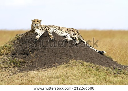 A cheetah (Acinonyx jubatus) on the Masai Mara National Reserve safari in southwestern Kenya.  - stock photo