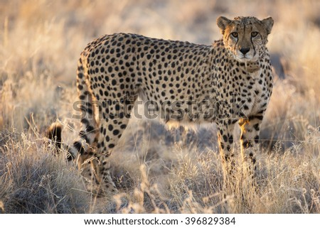 A cheetah from the cheetah farm in Africa / Namibia - stock photo