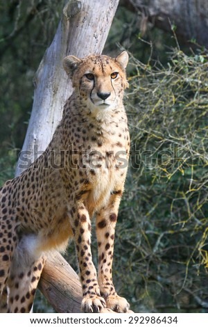 A cheetah keeps standing on a tree trunk and looking for prey - stock photo