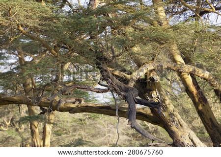 A Cheetah lying on a tree in Nakuru National Park in Kenya. - stock photo