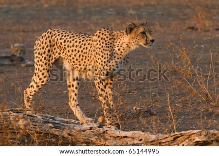 A cheetah mother on the hunt - stock photo
