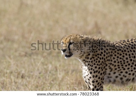 A cheetah on alert in the Masai Mara.