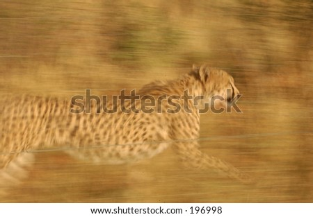 A cheetah running, Namibia, Africa - stock photo