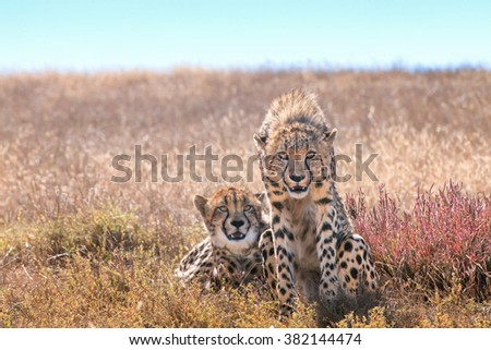 A cheetah staring ahead while their siblings relaxes in the sun - stock photo