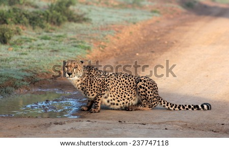 A cheetah stops for a drink. - stock photo