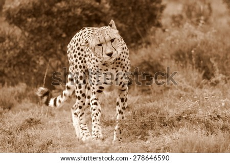 A cheetah walks towards  the camera in this sepia tone image taken while on safari in South Africa. - stock photo