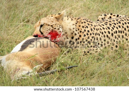 A cheetah with its kill, a Thomson's gazelle. This kill was photographed in the wild in the Masai Mara, Kenya, Africa. - stock photo