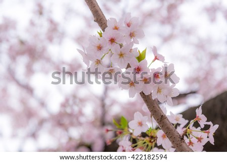 A cherry blossom or Sakura in Japan. The blooming flower represents the Spring and also is one of the Japanese famous symbol.