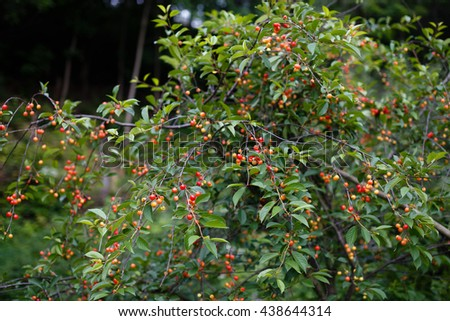 a cherry tree - stock photo