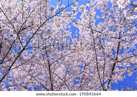 A cherry tree in full bloom along the Tidal Basin in Washington, DC. - stock photo