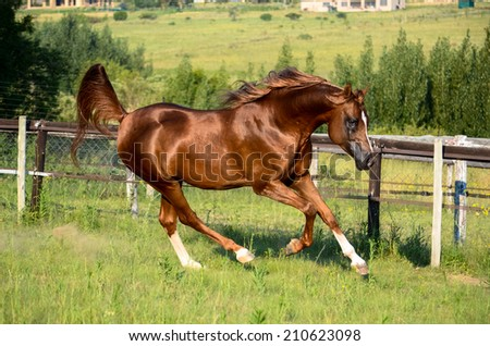 A chestnut arabian horse cantering in a green grassy paddock - stock photo