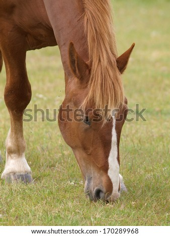 A chestnut horse grazes alone in a grass paddock.