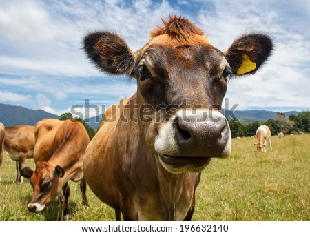 a chewing cow looking surprisingly straight into the camera - stock photo