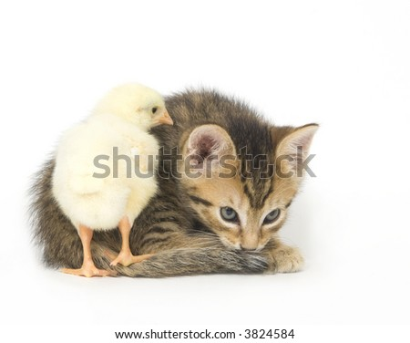 A chick stands on the tail of a kitten on a white background. Both are being raised on a farm in Illinois