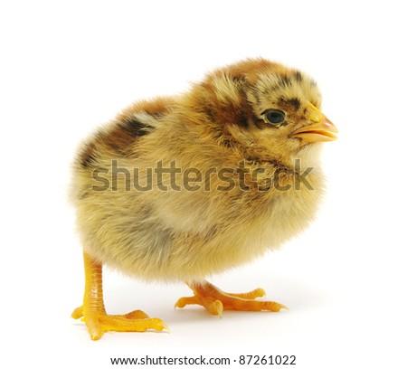 a chicken - stock photo
