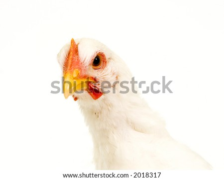A chicken looks at the camera in this closeup shot of a hen on white background. T