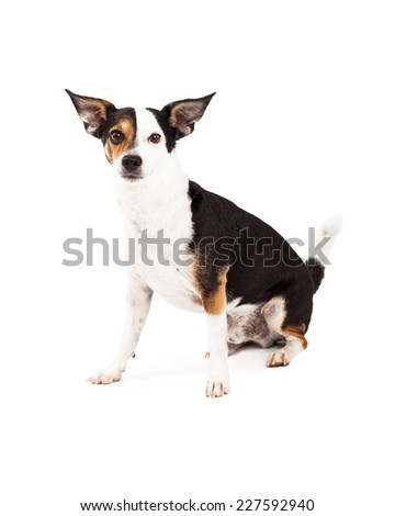 A Chihuahua and Terrier Mixed Breed Dog sitting while looking forward. - stock photo